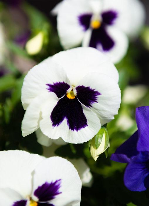 白いパンジーの花の写真素材