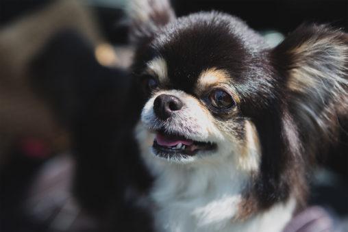 犬・チワワ02の写真素材