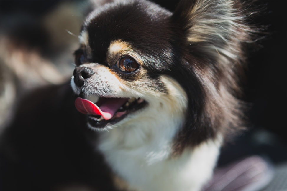 犬・チワワ03の写真素材