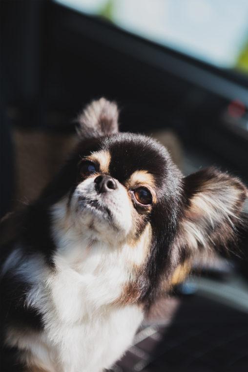 犬・チワワ04の写真素材