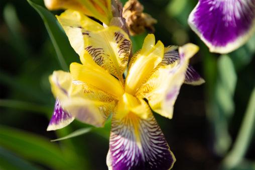 アイリスの花の写真素材