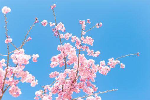 紅しだれ桜の写真素材