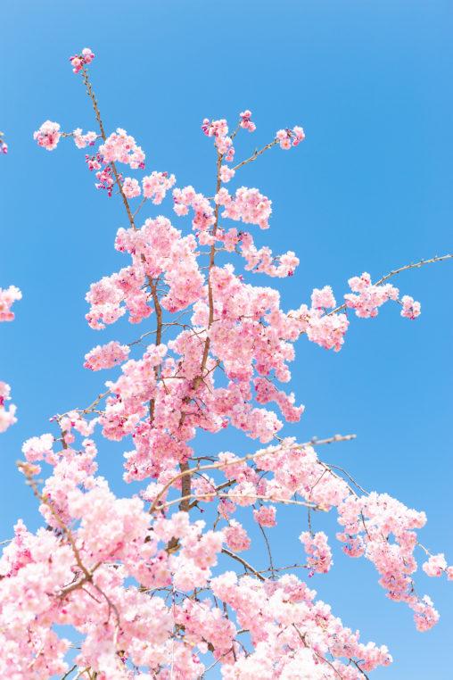 紅しだれ桜02の写真素材