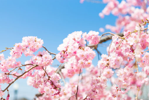 紅しだれ桜03の写真素材