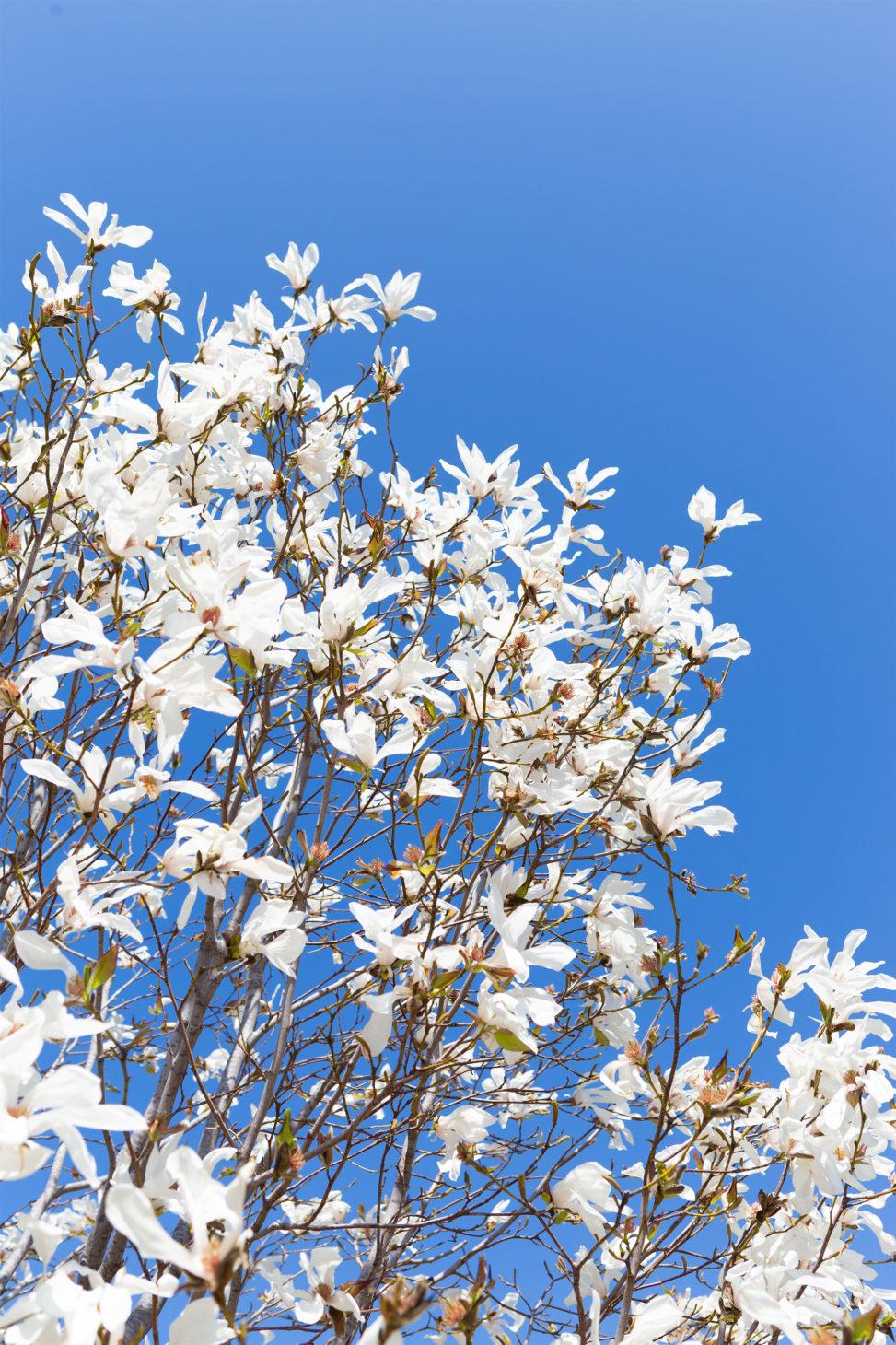 こぶしの花の写真素材
