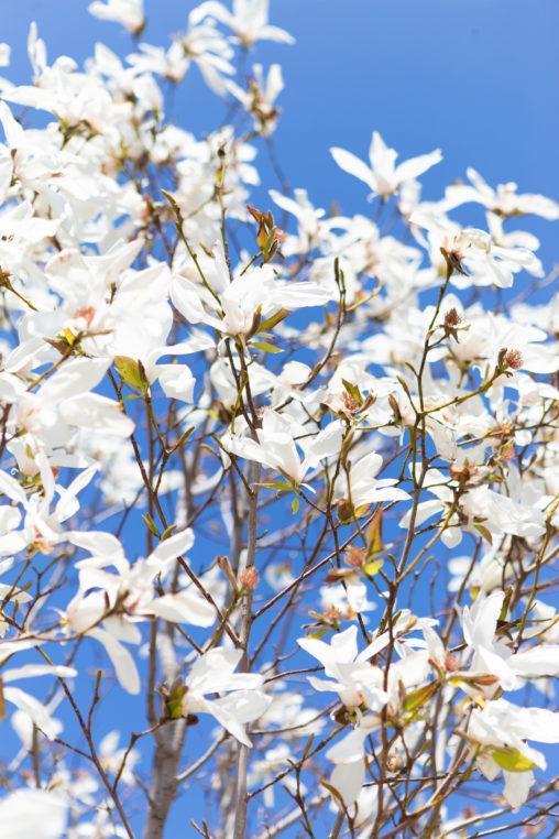こぶしの花02の写真素材