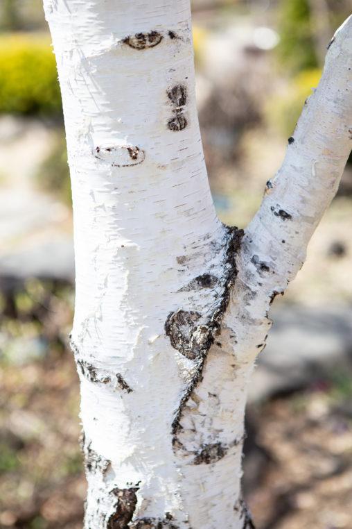 白樺(シラカンバ)の写真素材