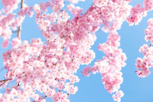 紅しだれ桜04の写真素材