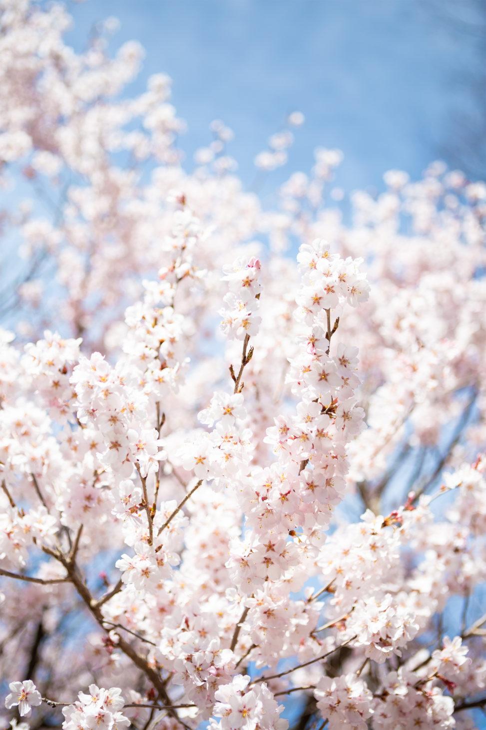 青空と桜(さくら)04の写真素材