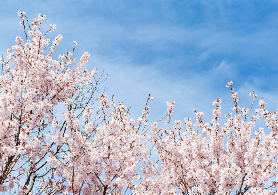 青空と桜(さくら)の写真素材