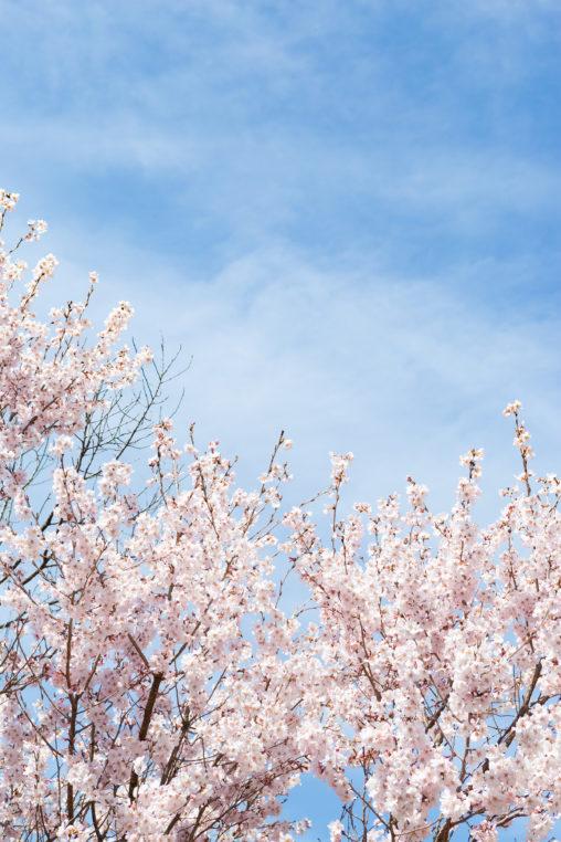 青空と桜(さくら)02の写真素材