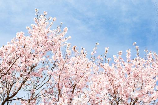 青空と桜(さくら)03の写真素材