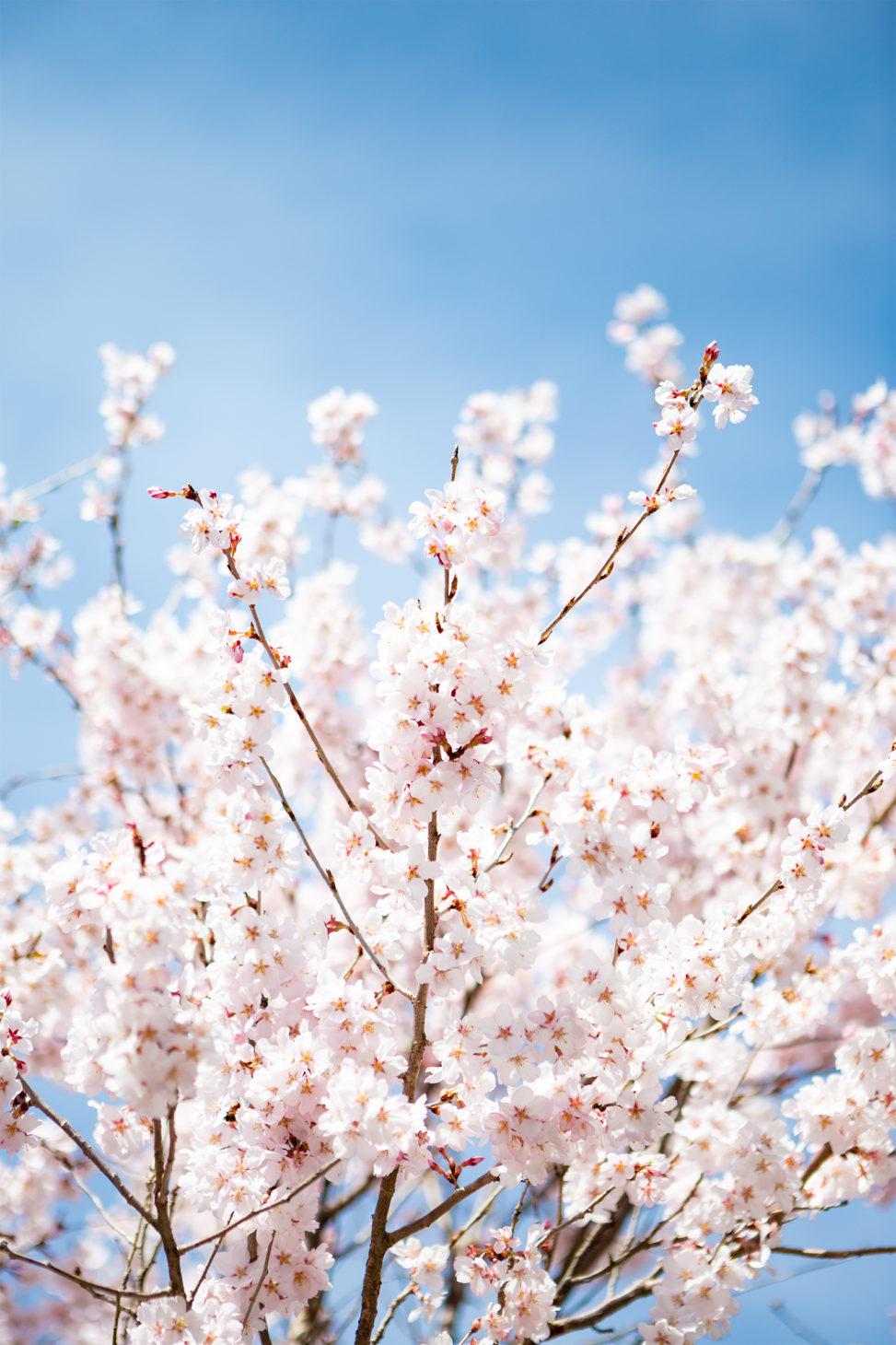 青空と桜(さくら)05の写真素材