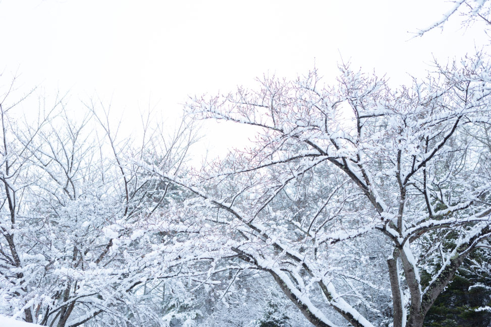 木に積もった雪の写真素材