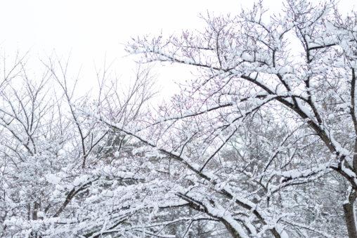 木に積もった雪02の写真素材