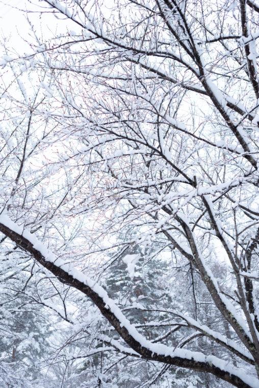 冬の風景・木に積もった雪04の写真素材