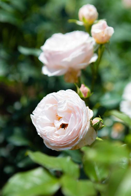 イングリッシュ・ヘリテージ(薔薇)の写真素材