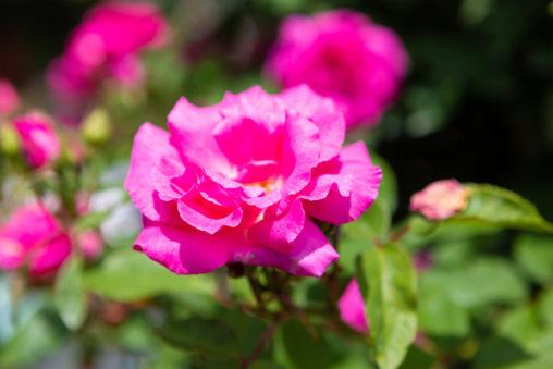 ピンク色のバラ(薔薇)の写真素材