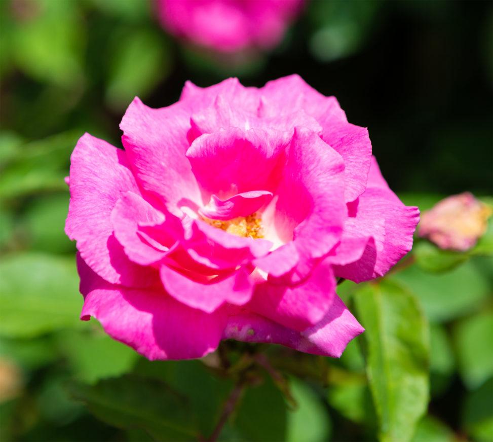 ピンク色のバラ(薔薇)02の写真素材