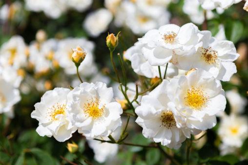 バラ(薔薇)・ムスク ローズの写真素材
