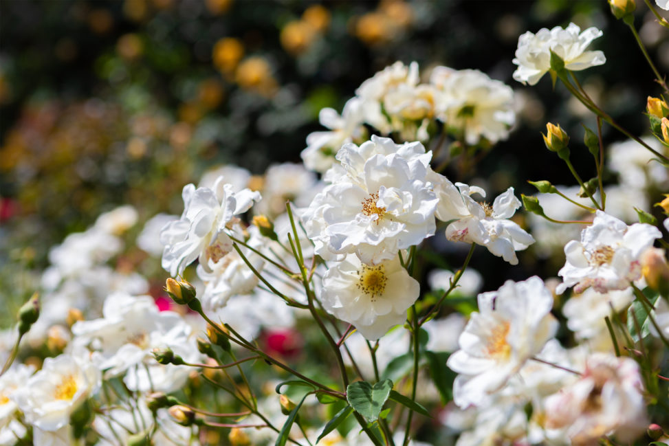バラ(薔薇)・ムスク ローズ02の写真素材