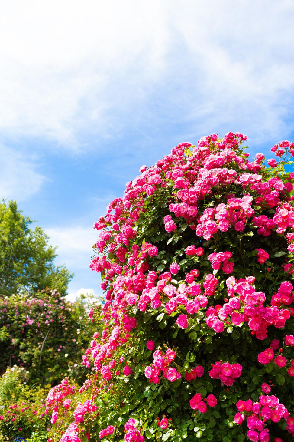 バラ(薔薇)・アンジェラの写真素材
