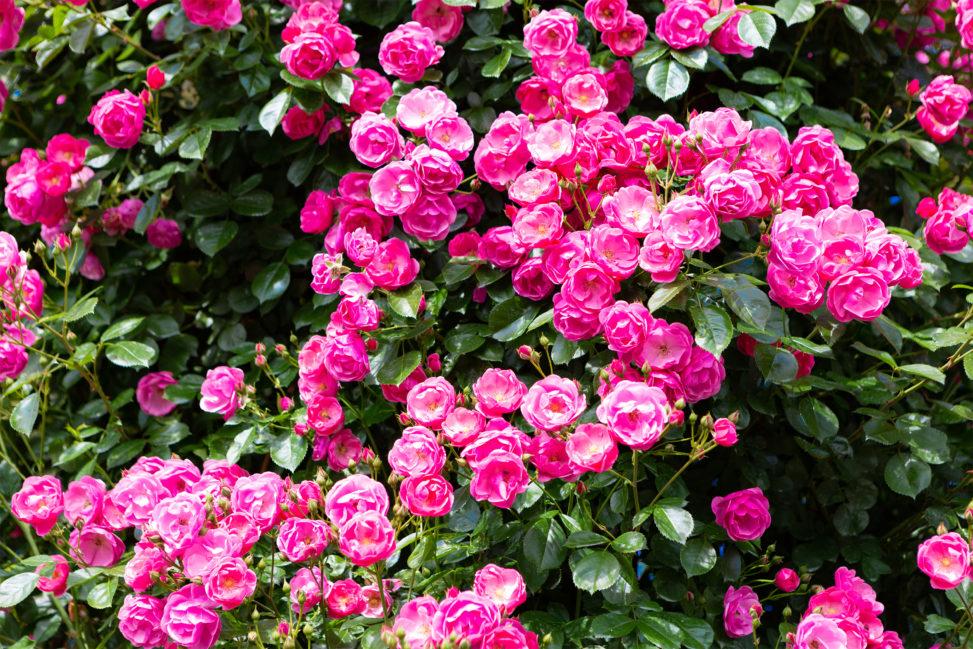 バラ(薔薇)・アンジェラ02の写真素材