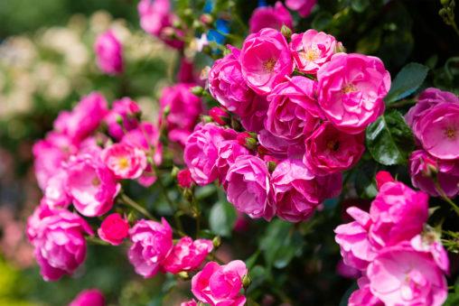 バラ(薔薇)・アンジェラ03の写真素材