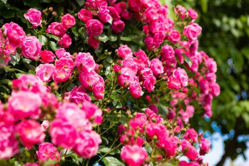 バラ(薔薇)・アンジェラ04の写真素材