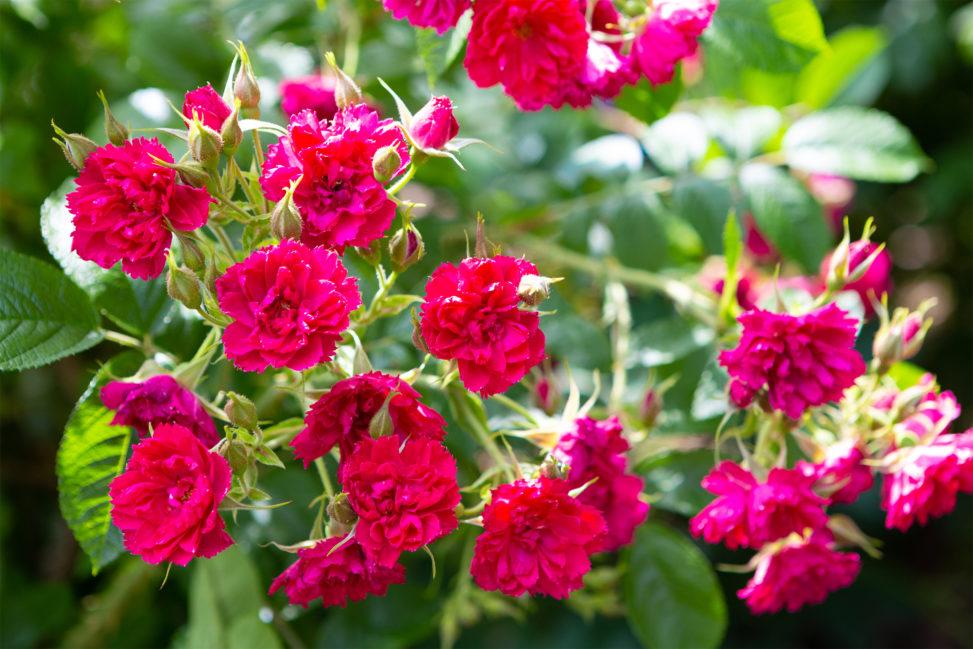 バラ(薔薇)・ピンク グルーテン ルストの写真素材
