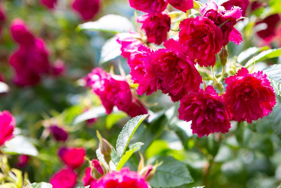 バラ(薔薇)・ピンク グルーテン ルスト02の写真素材