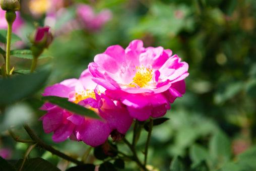 バラ(薔薇)・セントニコラの写真素材
