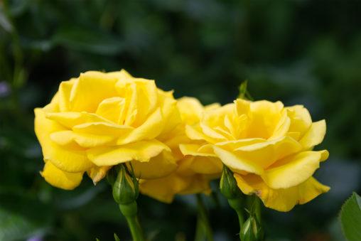 黄色いバラ(薔薇)の写真素材