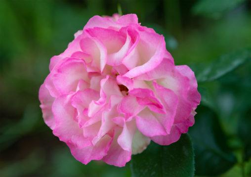 白とピンク色のバラ(薔薇)