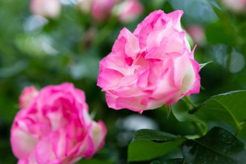 白とピンク色のバラ(薔薇)02の写真素材