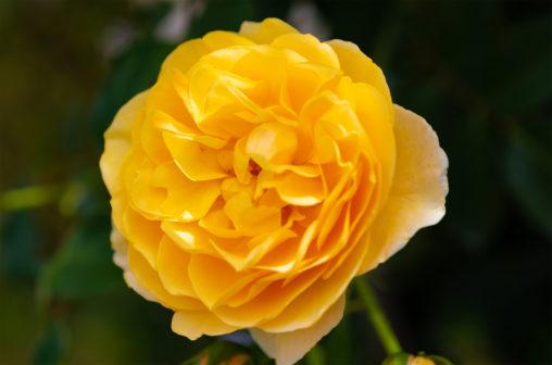 黄色いバラ(薔薇)02の写真素材