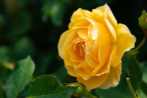 黄色いバラ(薔薇)03の写真素材