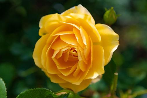 黄色いバラ(薔薇)04の写真素材