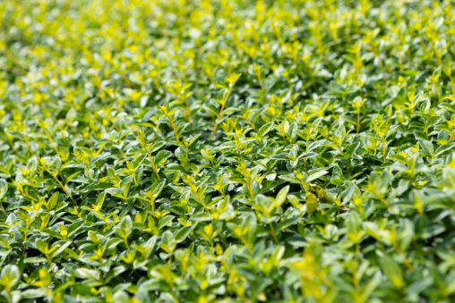 ホワイトペリウィンクルの葉の写真素材
