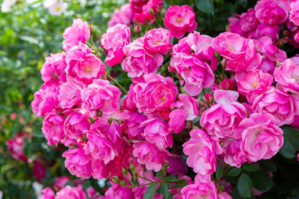 バラ(薔薇)・ピンク色のアンジェラの写真素材