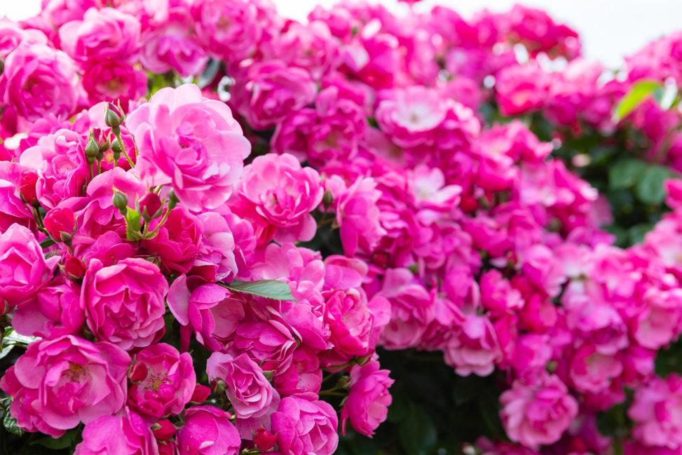 バラ(薔薇)・ピンク色のアンジェラ02の写真素材