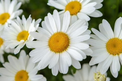 マーガレットの花びら03の写真素材
