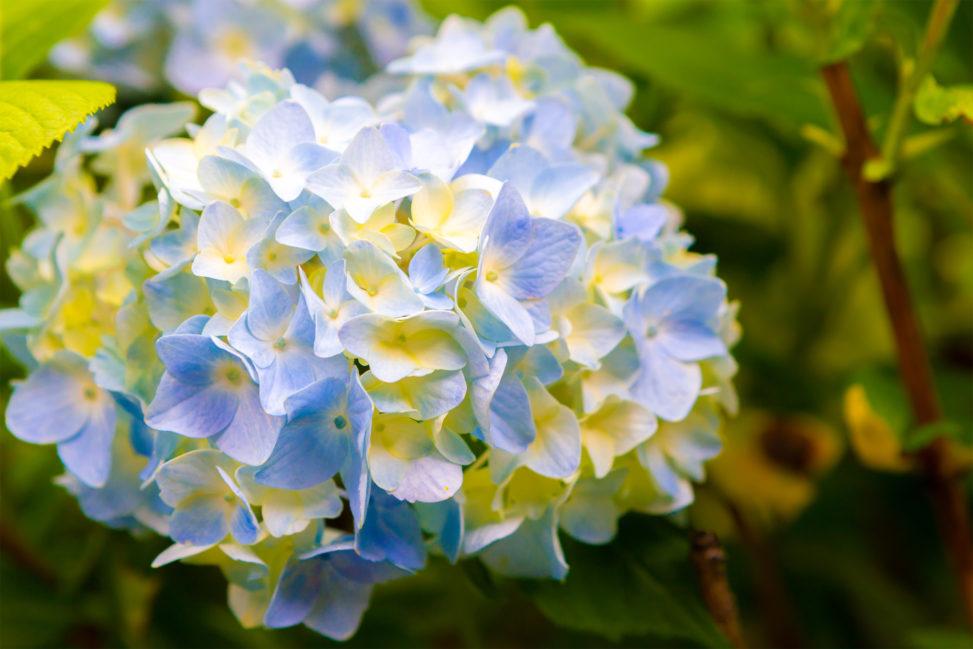 淡い色の紫陽花(あじさい)の写真素材