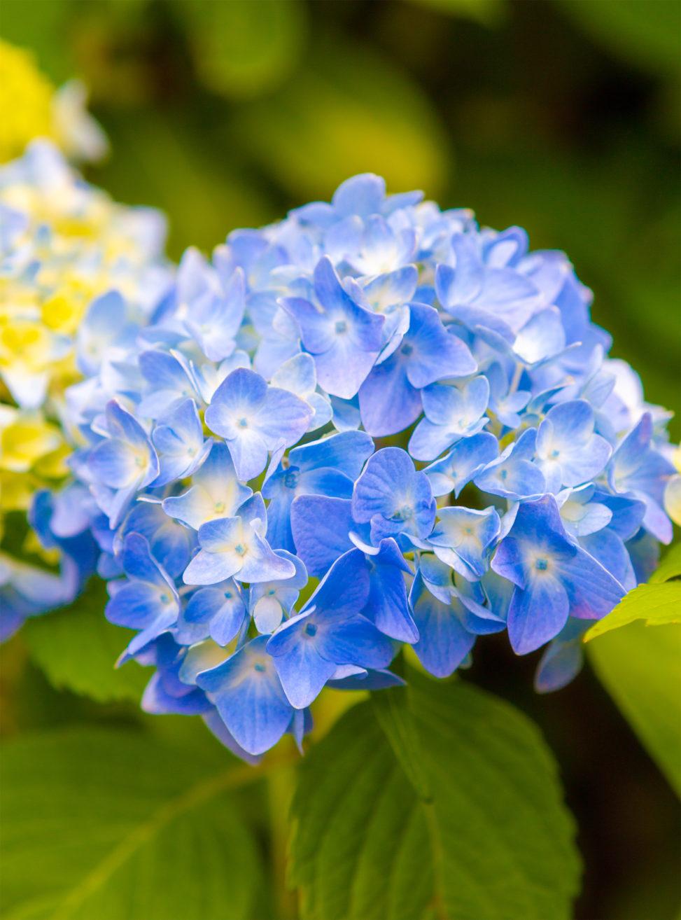 鮮やかな青色の紫陽花(あじさい)の写真素材