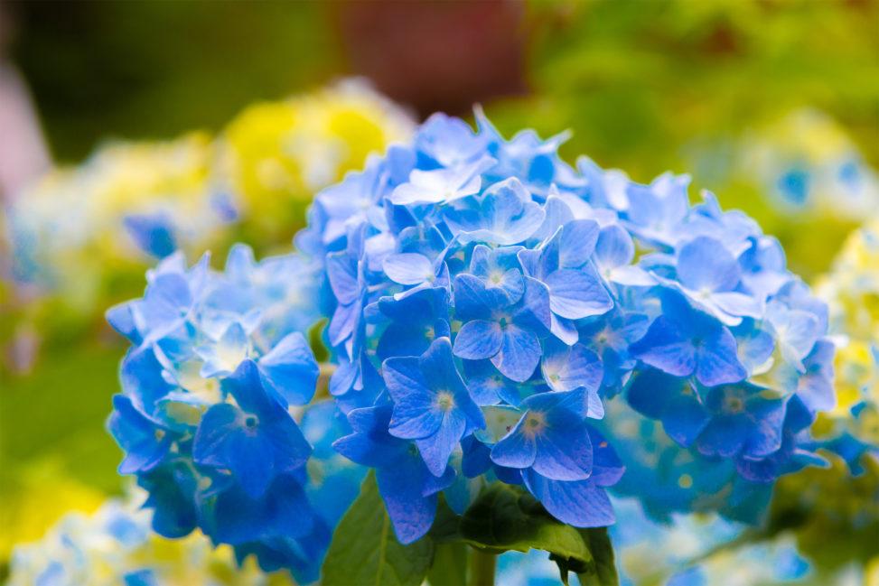 鮮やかな青色の紫陽花(あじさい)02の写真素材