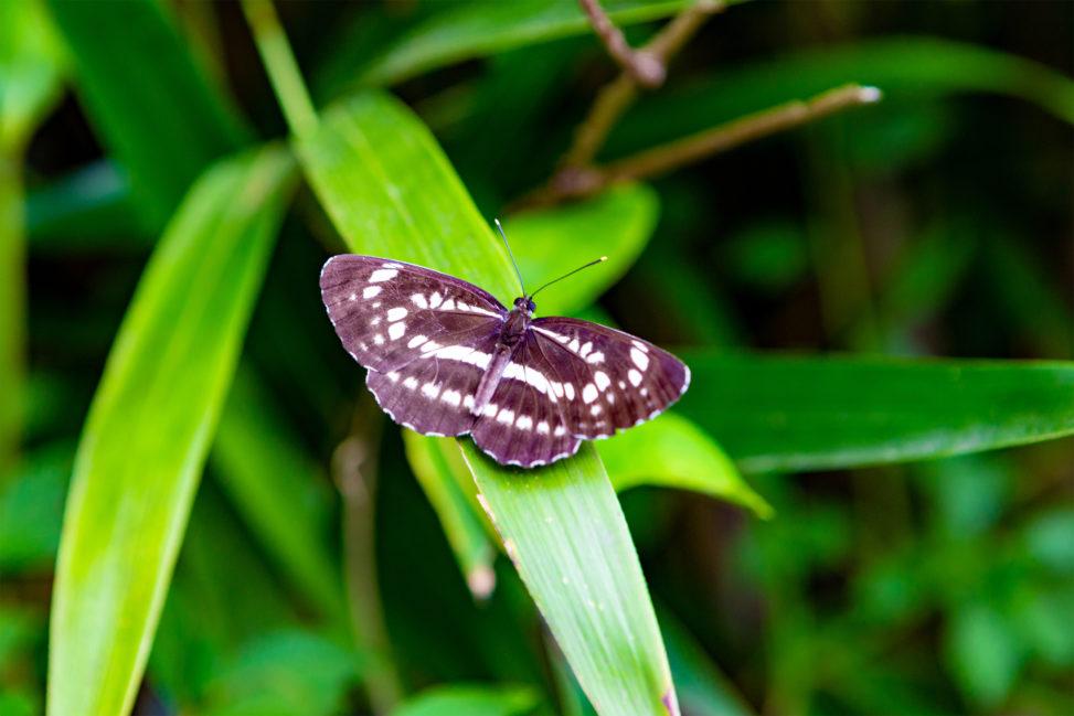 オオミスジ(蝶々)の写真素材