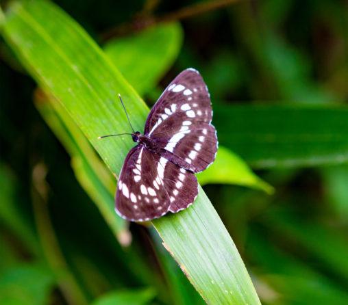 オオミスジ(蝶々)02の写真素材