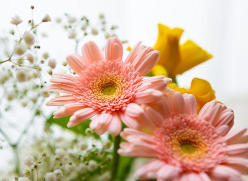 ピンク色のガーベラの花の写真素材