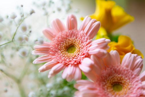 ピンク色のガーベラの花02の写真素材