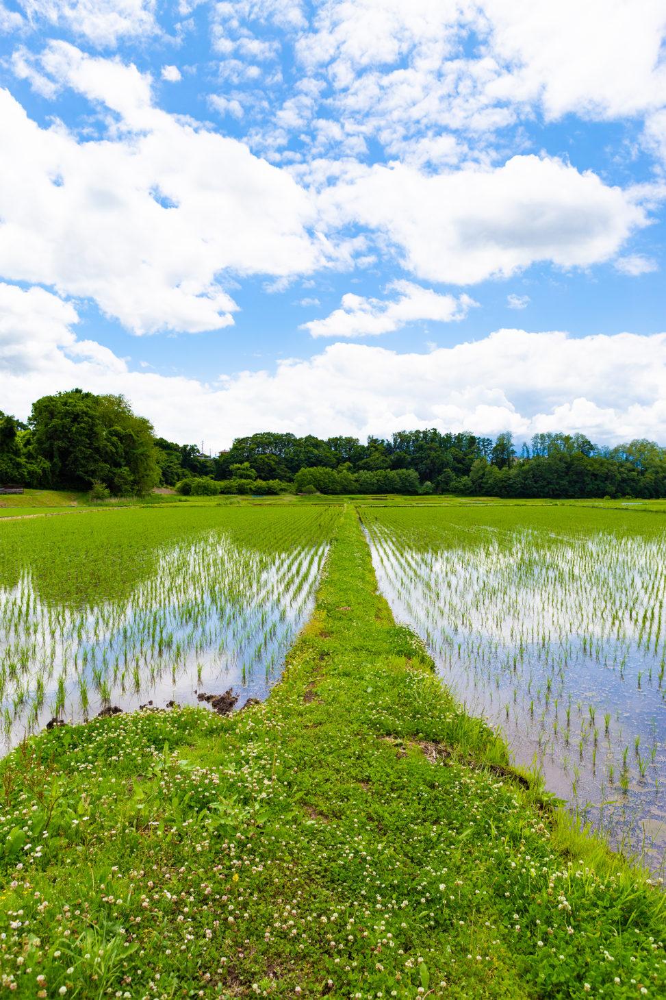 畦道(あぜみち)と田んぼの風景02の写真素材